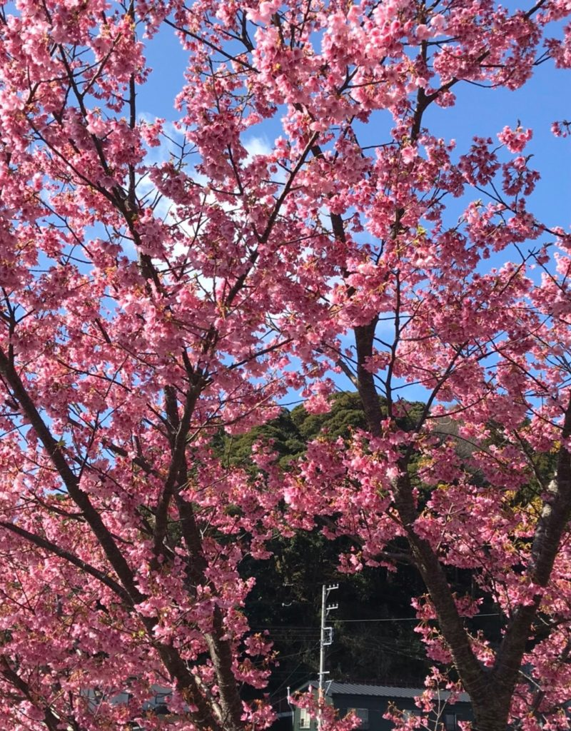 河津桜 桜