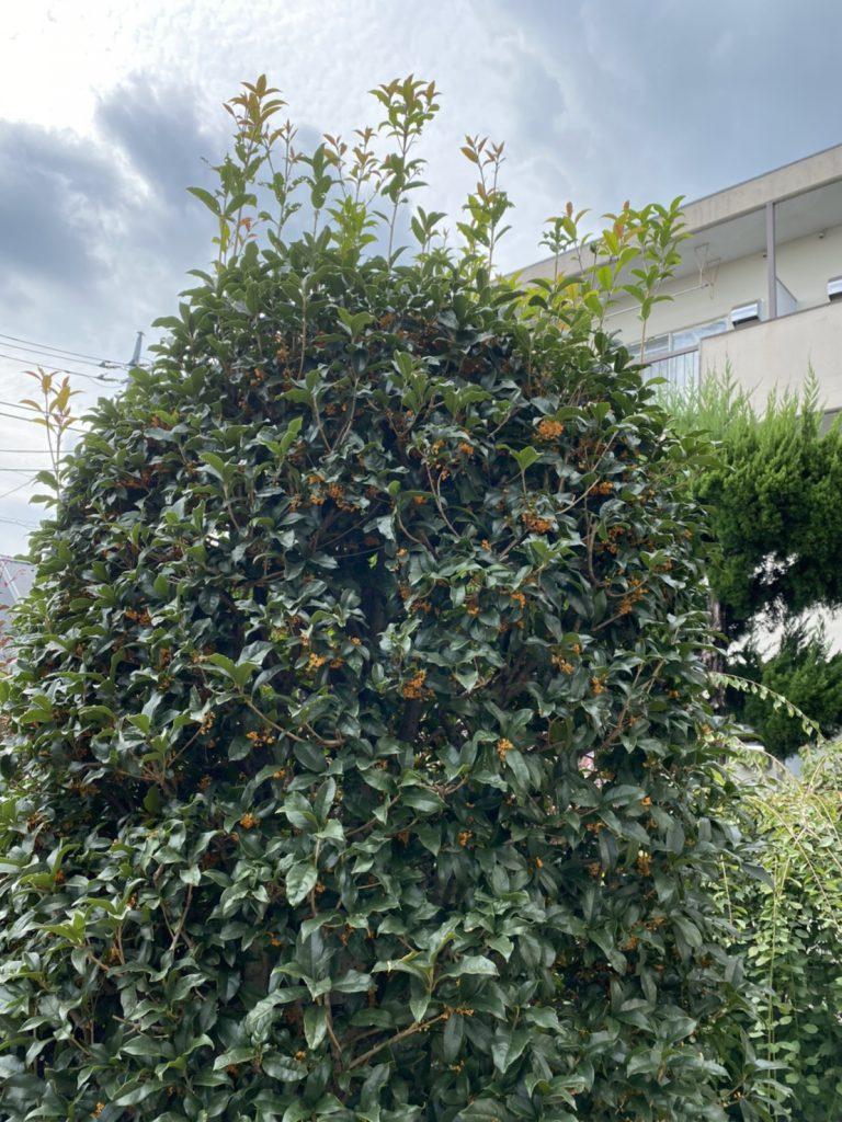 キンモクセイ 木