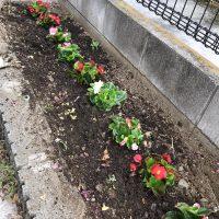 ベコニア 花