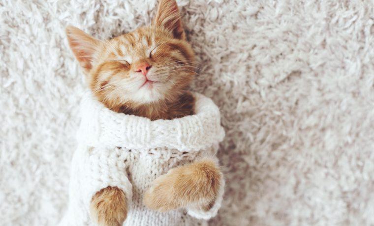 Gran Felicia 猫